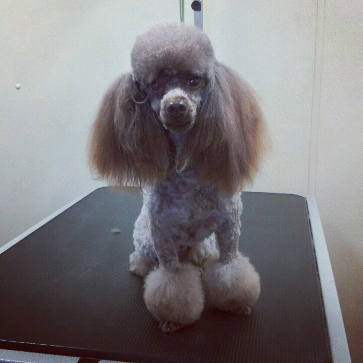 Toy poodle in a Miami cut Dog Grooming Dog haircuts