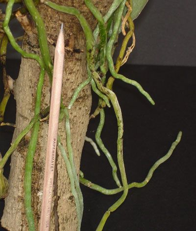 Luxury Repotting Orchids according to root structure