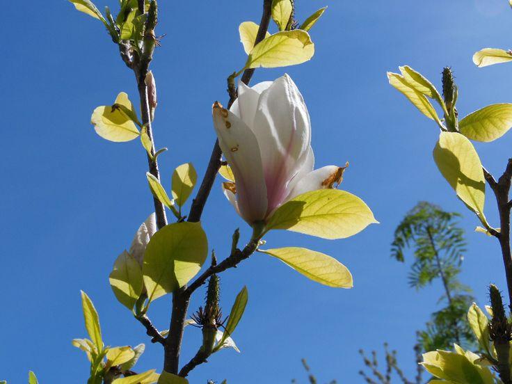 My Magnolium in May! Mi Magnolio en Mayo!