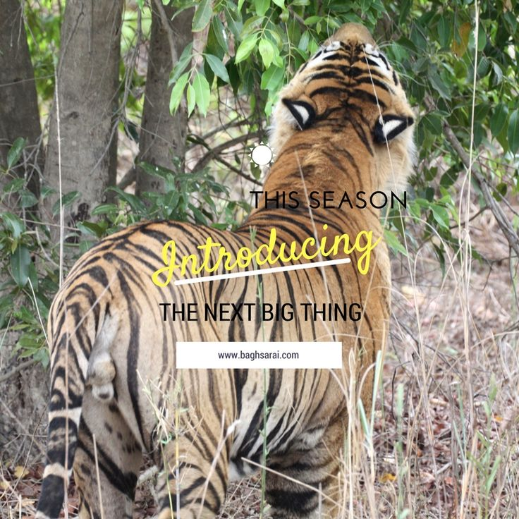 The excitement is increasing day by day as the dates are coming closer! National park opening on 1st October!! Are you ready for some jungle adventure? #BaghSarai #Bandhavgarh #NationalPark #themensa #nature #junglesafari #tigersafari #wildlife #luxury #travel #wanderlust   #junglediaries #wildcats #wildlifephotography #getaway #gamedrive #tiger #bushdinner #madhyapradesh #incredibleindia