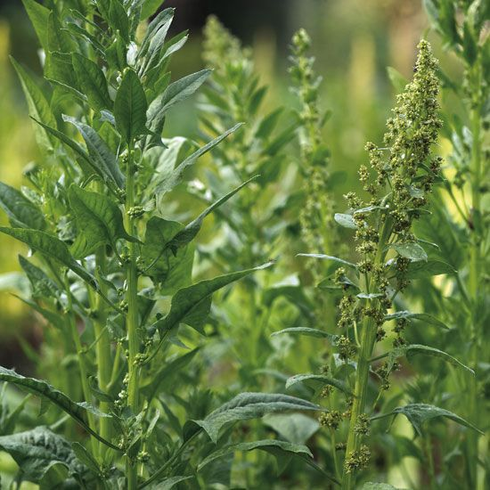 Saving Spinach Seeds: A Complete Guide for Organic Growers - Organic Gardening - MOTHER EARTH NEWS