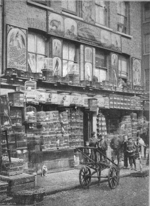 An East London pet store in the 1890's with a wall of caged song-birds at Club Row.