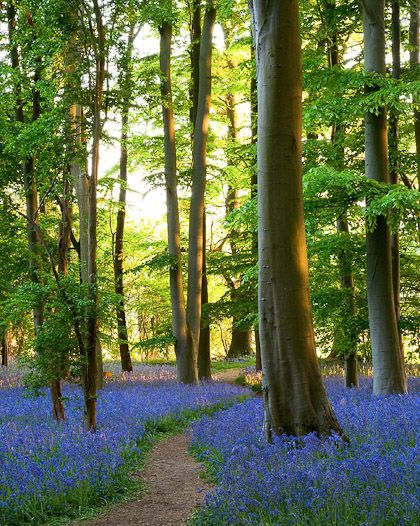 Bluebells in the wood, by Clive Nichols.