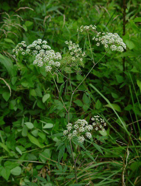 Caution | Water Hemlock | Cicuta maculata plant