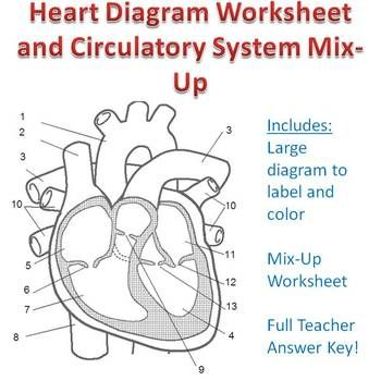 Cardiovascular System Heart Diagram To Color  Dessincoloriage