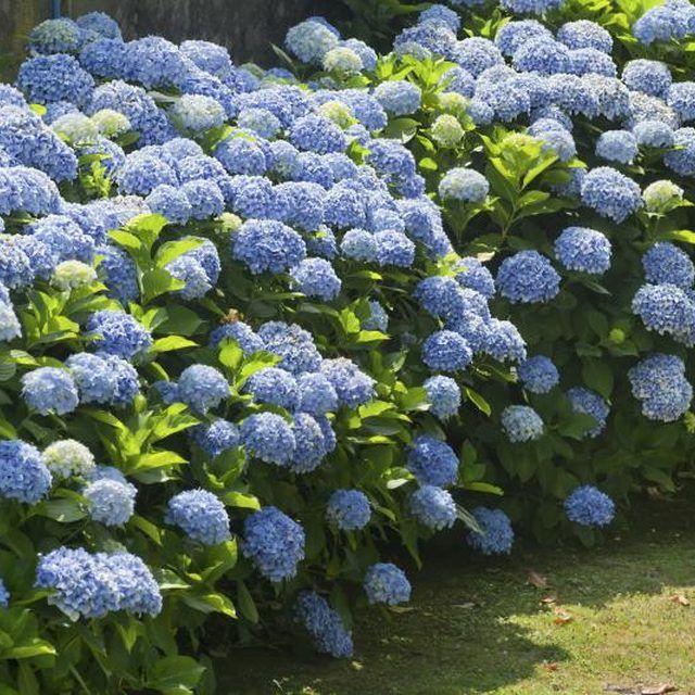 Blue hydrangea bushes grow in a garden.
