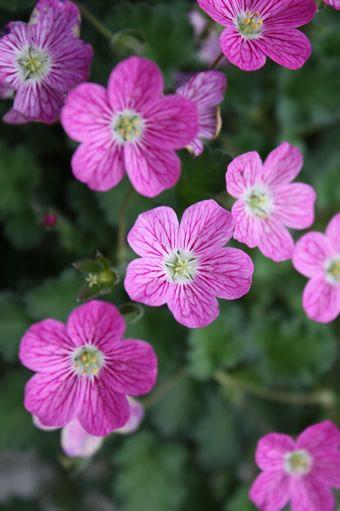 Plus de 25 idées magnifiques dans la catégorie Cranesbill geranium ...