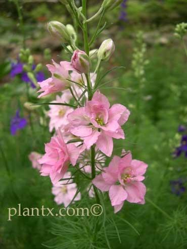 Light Pink Larkspur