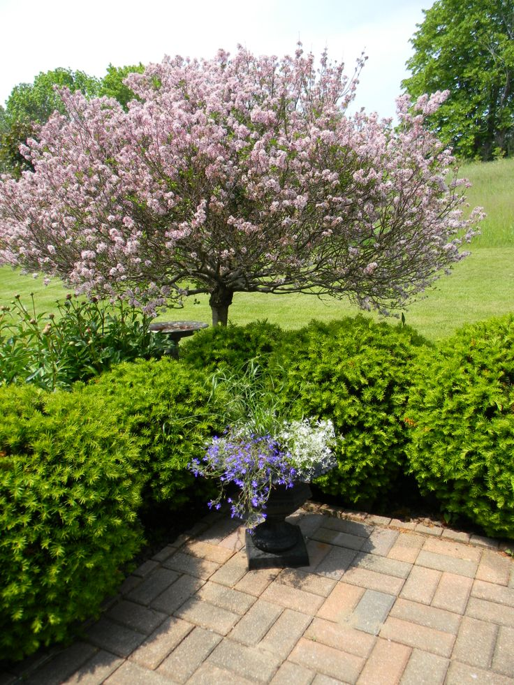 Best 25 japanese lilac tree ideas on pinterest small trees for japanese lilac tree and yews publicscrutiny Image collections