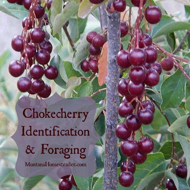 Like most wild edible berries, once you learn how to identify the plant it is quite easy to spot them all over. Chokecherry is a tall shrub