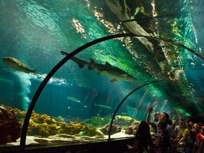 Dans le Shark Encounter, au SeaWorld d'Orlando, on se laisse entraîner sur un tapis roulant pour observer la beauté de dangereux et voraces requins dans un tunnel transparent qui traverse un bassin de 450 tonnes d'eau salée. Isabelle Laflamme / Agence QMI
