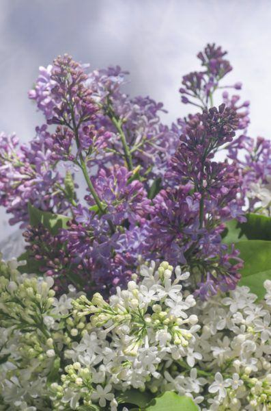 how to prune lilacs in the fall