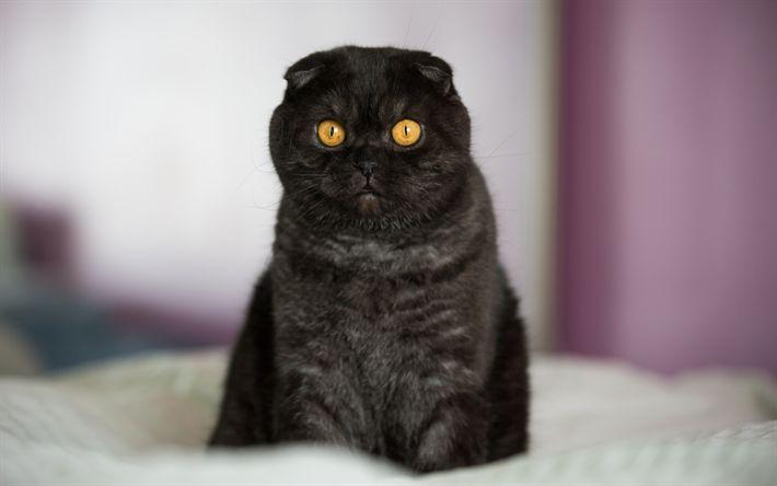 Download wallpapers Black Scottish Fold, muzzle, pets, cats, black cat, cute animals, domestic cat, Scottish Fold Cat