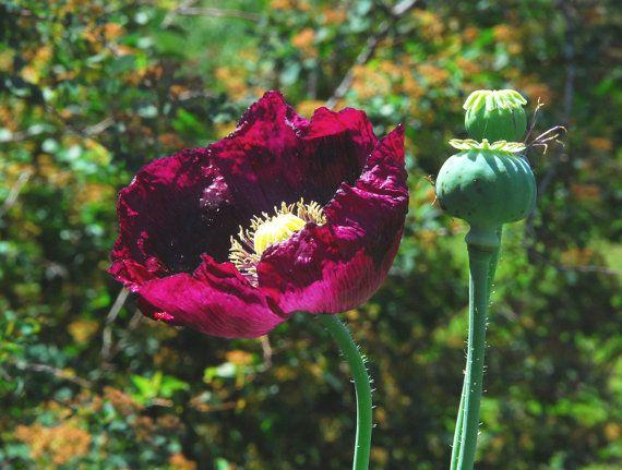 Lauren's Grape Poppy Seeds Purple Poppies by mountainlilyfarm, $3.00