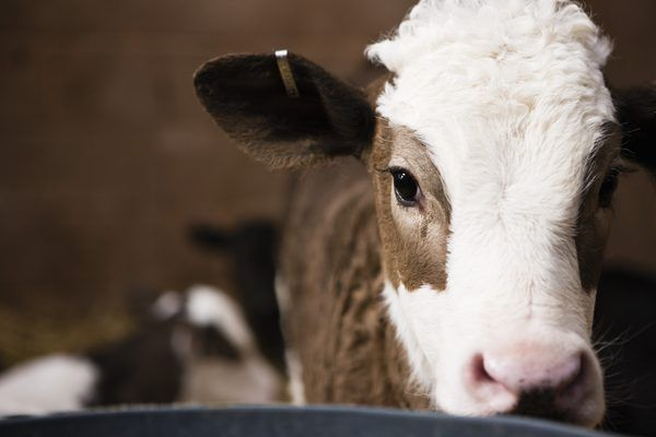 How To Raise Beef Cattle For Profit On A Small Farm Cattle Ranching Beef Cattle Beef Cow