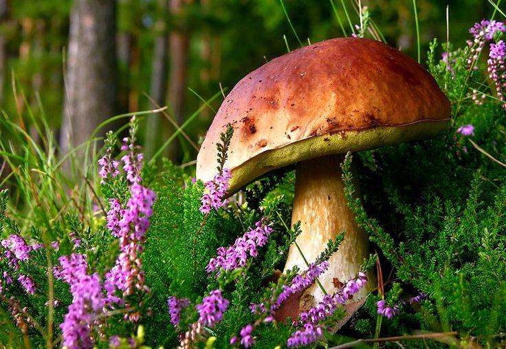 heather, mushroom, toadstool,                                                                                                                                                                                 More