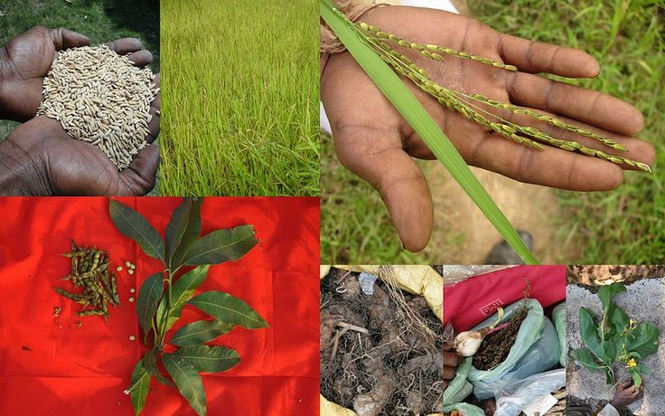 Medicinal Rice based Tribal Medicines for Diabetes Complications and Metabolic Disorders (TH Group-741) from Pankaj Oudhia's Medicinal Plant Database. Encyclopedia of Tribal Medicines by Pankaj Oudhia. #TribalMedicines