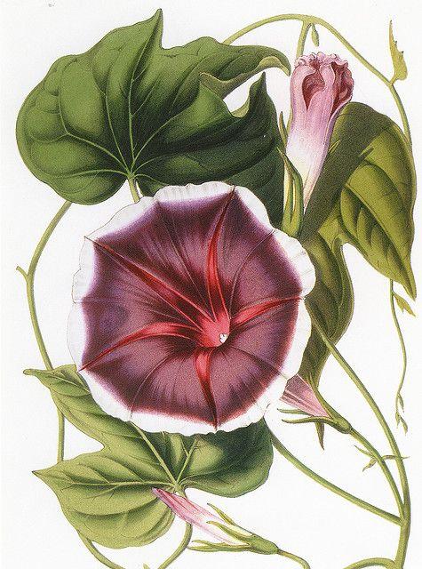 """Morning Glory. M.L. van Houtte from Flore des serres et des jardins de l""""Europe, 1845-1880"""