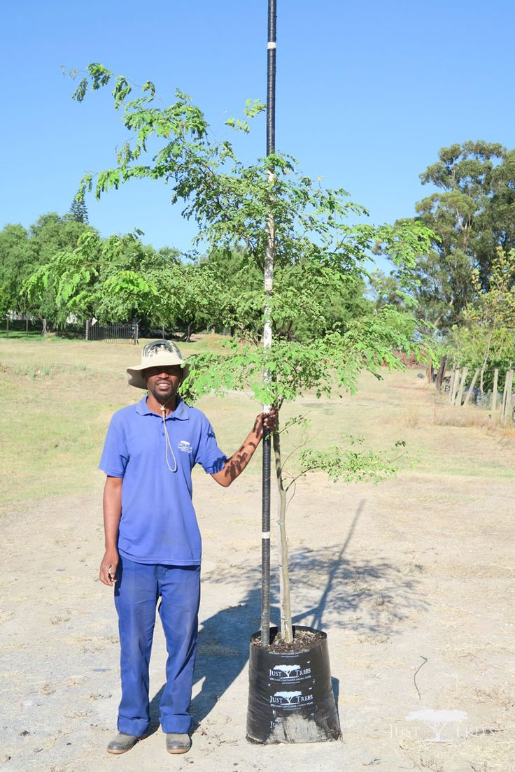 40L Caesalpinia ferrea. The deciduous Leopard tree is named so because of its beautifully textured bark. Originating from Brazil, its delicate branches and attractive leaves cast light shade that is suitable for grass-growing.