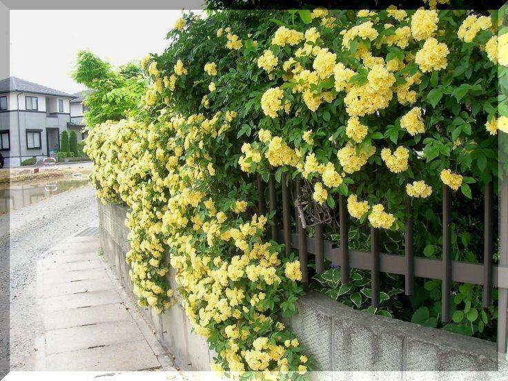 モッコウバラの垣根 - クロダイ釣りたいジイサン - Yahoo!ブログ