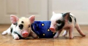 teacup pigs! they only get a little bigger than this and you can train them just like you would a dog. im in loveee