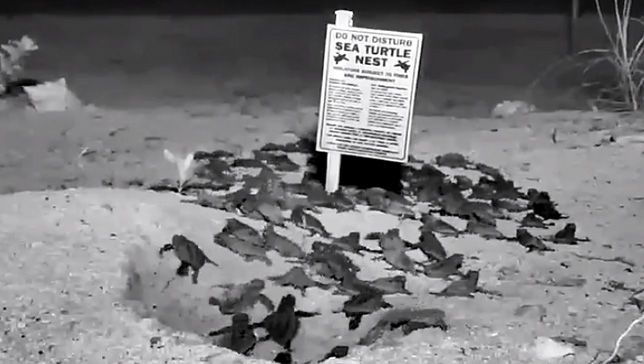 Webcam catches baby sea turtles hatching
