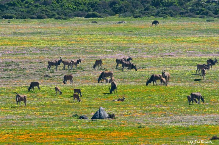 Elands and spring flowers - West Coast National Park, South Africa