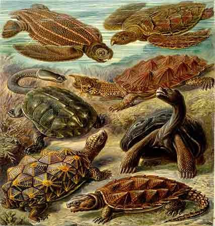 ernst haeckel--turtles