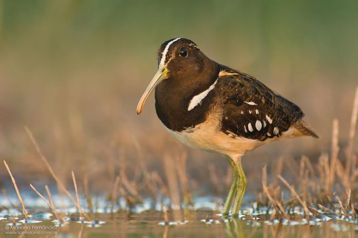 South American Painted-snipe (Nycticryphes semicollaris)
