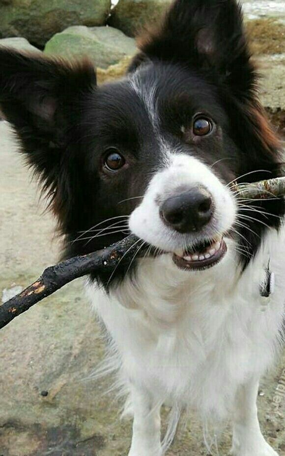 Border Collie Beauty Collie Dog Dog Breeds Dogs