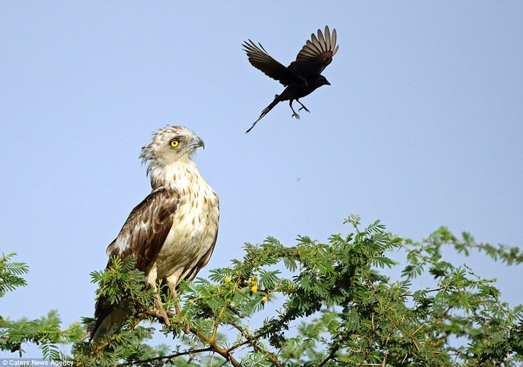 The crow is seen flying away from the eagle, but it is only a matter of time until the pes...