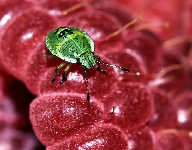 Juvenile Green Shield Bug by Matthew Harvey on 500px