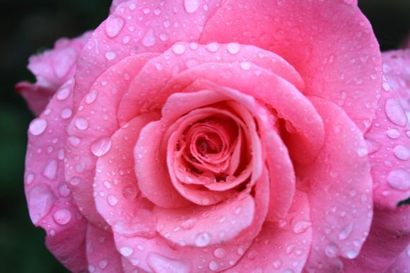 Raindrops on roses ...