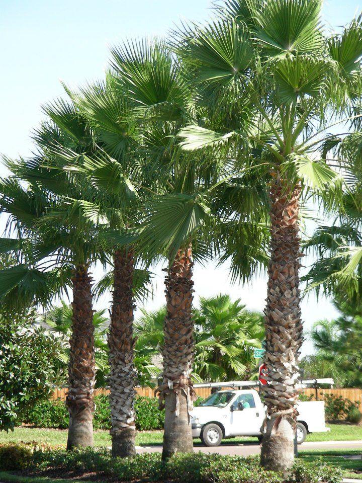 30 best images about palm trees in landscape design on. Black Bedroom Furniture Sets. Home Design Ideas