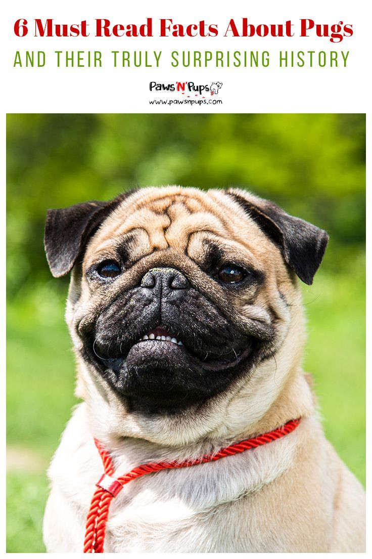 Pugs Are Actually One Of The Oldest Breeds Of Dog The Akc