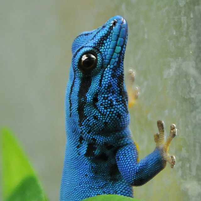The Amazing Gecko: 20 Interesting Facts about the World's ... - photo#21