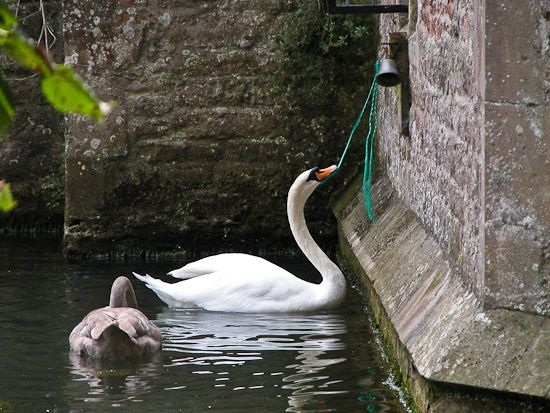 The swans ring the bell to be fed at the Bishop's Palace - Wells, Somerset, England by Jeff Bevan.