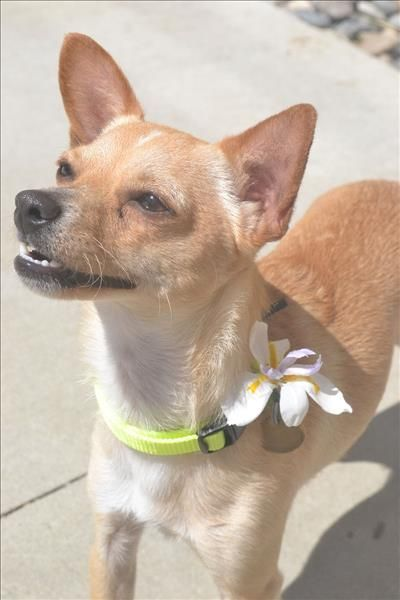 chihuahua and terrier mix best 25 chihuahua terrier mix ideas on pinterest 1418