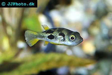 1000 ideas about freshwater fish on pinterest discus for Dwarf puffer fish for sale