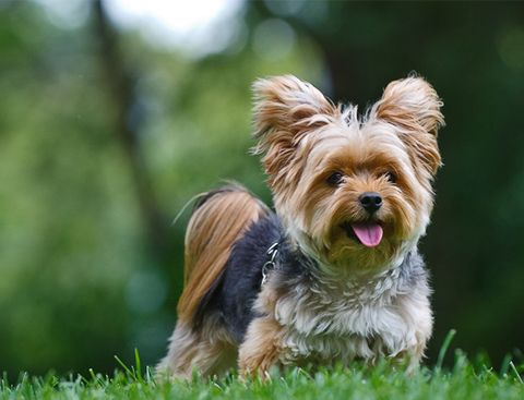 Груминг йорка (йоркширского терьера): стрижка, купание, уход за шерстью йоркширского терьера   Породы собак   Royal-groom
