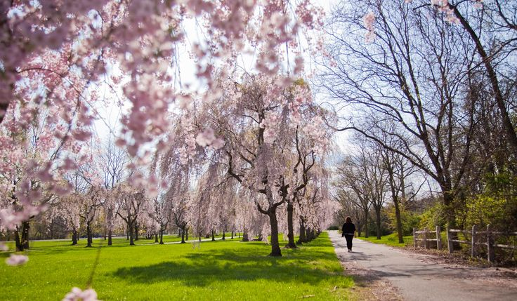 Top Spots To Check Out Cherry Blossoms During Peak Season In Philly, April 9-13, 2016 (Photo by M. Fischetti for Visit Philadelphia)