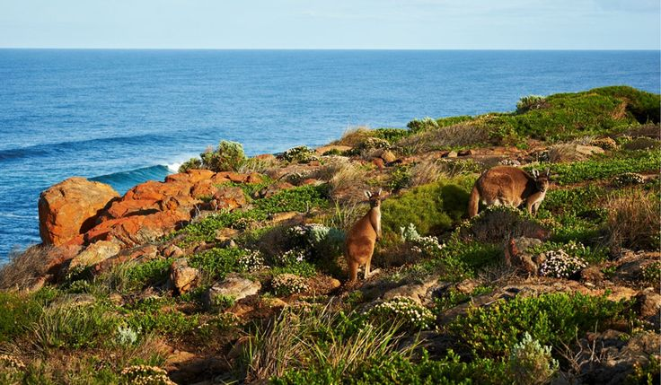 Kangaroos on the Cape to Cape track