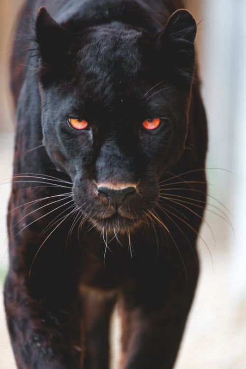 Up close and personal with a black panther.