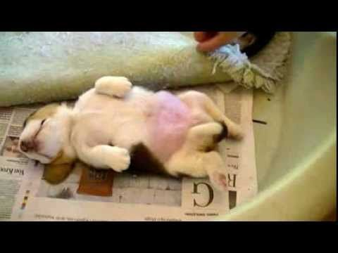 Cute beagle puppy Nothing nor nobody going to wake me up.