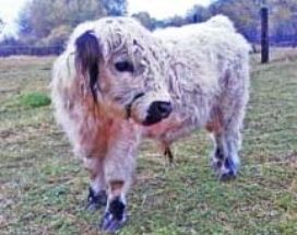 Our Little Acres has Mini Cow for sale as well as Fainting Goats for sale in Minnesota