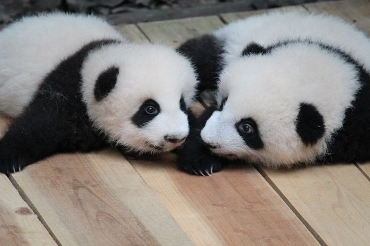 As I was standing there in Chengdu with a soppy smile on my face, the giant panda was officially being taken off the 'endangered' list and upgraded to 'vulnerable'. A heart-warming news story that I was privileged to see unfolding with my own eyes.
