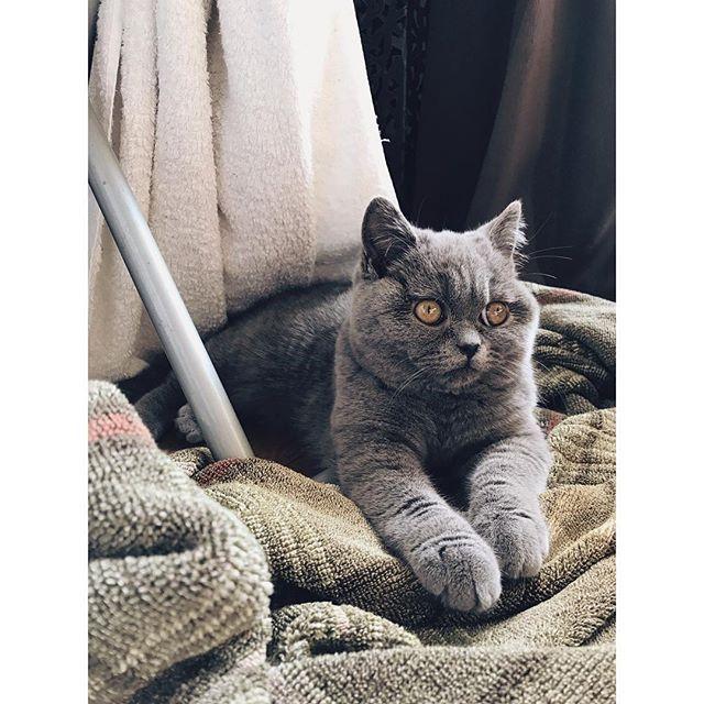 2018.01.19 ・ いい天気✨ ・ うめ子は巣を作ってひなたぼっこ🌞 ・ 白目が見えるときの顔が堪らなくかわいい♡ ・ ・ #ブリティッシュショートヘア #こねこ #ねこ #ねこ部 #ふわもこ部 #ペコねこ部 #ねこすたぐらむ #猫 #猫のいる生活 #猫のいる暮らし #もふもふ #もふもふほっぺ #たまらん #にゃんこ #愛猫 #癒し #cat #catstagram #instacat #britishshorthair #briのUme #ひなたぼっこ