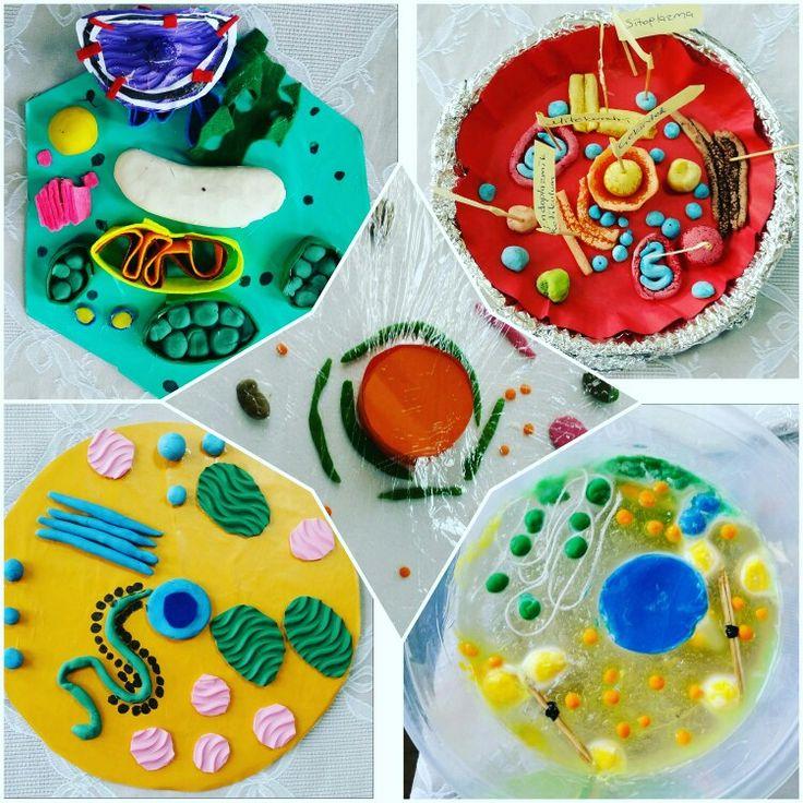 Hücre modellerimiz  Hayvan Hücresi Bitki Hücresi