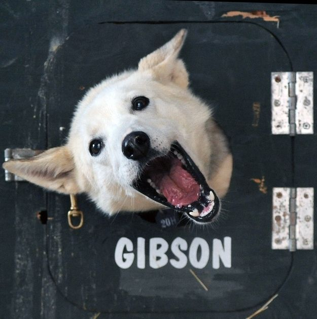 A dog name Honey poking out of her head out of her truck and being absolutely adorable. | The 19 Most Excited Photos Of Iditarod RacingDogs
