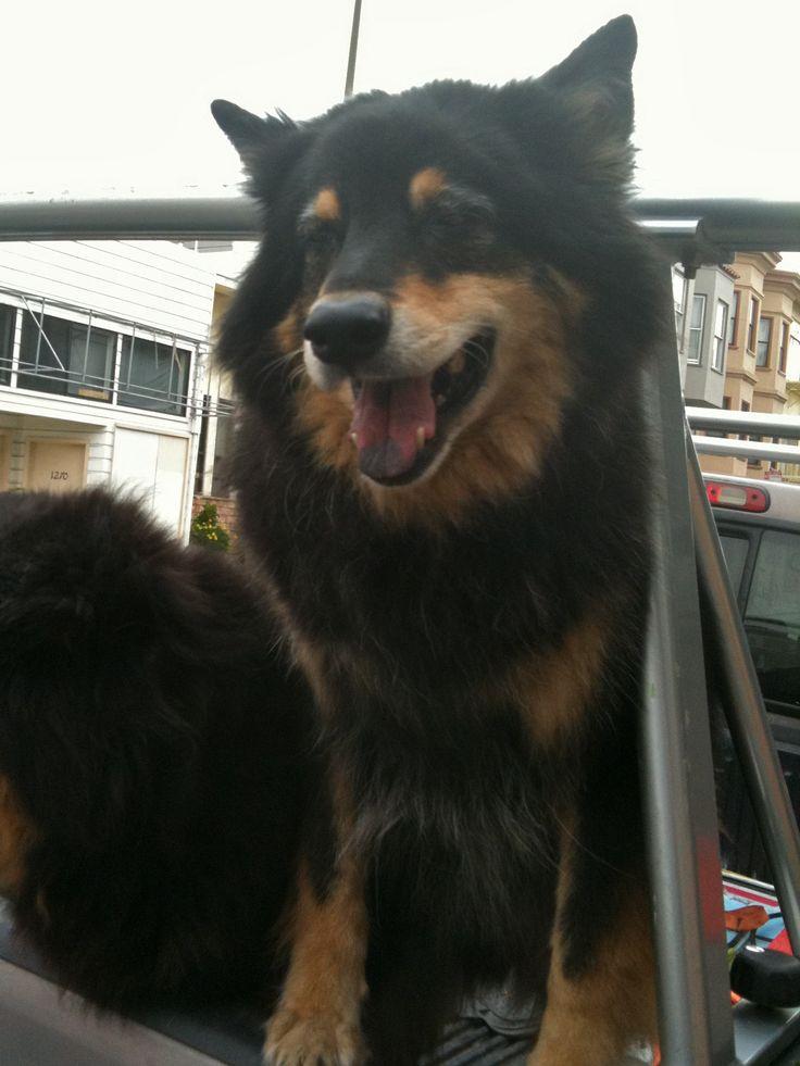 Rottweiler Chow Mix Google Search Animals Dog Breeds